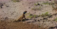 A close up side view shot of a Ground Agama,Agama aculeata on the sand, that runs away.