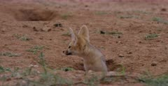 A tracking shot of two wet juvenile Cape fox, Vulpes chama coming out of its burrows after the rain, listening to sounds around it and shaking off the rain.