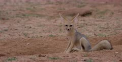 A close up shot of a juvenile Cape fox, Vulpes chama scratching and nervously looking about.