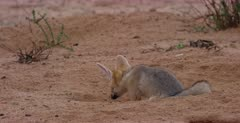 A close up shot of a juvenile Cape fox, Vulpes chama sitting at the entrance of its burrow. Looking into the burrow.