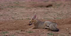 A close up shot of a yawning and stretching juvenile Cape fox, Vulpes chama who walks over to its sibling.