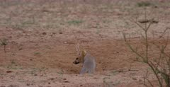 A close up shot of a juvenile Cape fox, Vulpes chama exiting its burrow, sniffing the ground.