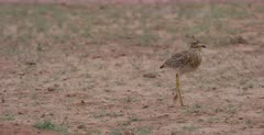 A close up tracking shot of a Spotted Thick Knee Bird, Burhinus capensis running on the ground.