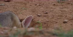 A close up shot of the cute face of a juvenile Cape fox, Vulpes chama nervously smelling, looking and listening about.