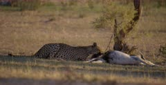 A medium shot of a Cheetah, Acinonyx jubatus eating off  her killed Springbok.