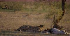 A rack focus shot from a Cheetah, Acinonyx jubatus on its killed Springbok to a Jackal waiting.