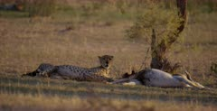A medium shot of a Cheetah, Acinonyx jubatus next off  her killed Springbok keeping watch.