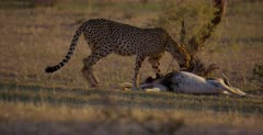 A tracking shot of a tired Cheetah, Acinonyx jubatus  drags her killed Springbok into the shade and then begins t chew the carcass.