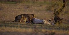 A medium shot of a Cheetah, Acinonyx jubatus chewing the skin of her killed Springbok .
