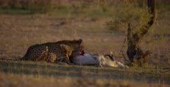 A tracking shot of a Cheetah, Acinonyx jubatus, at her killed Springbok, who chases Jackals away.