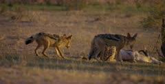 A tracking shot of a Cheetah, Acinonyx jubatus, at her killed Springbok, who chases Jackals away. Note: jackal bites Cheetahs tail.