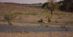 A wide shot of a Cheetah, Acinonyx jubatus on her killed Springbok .