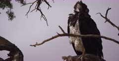 A close up of a Martial eagle, Polemaetus bellicosus perched on a tree looking about on a hunt for food.