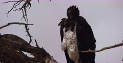 A close up of a Martial eagle, Polemaetus bellicosus perched on a tree looking about on the hunt for food.
