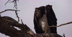 A close up of a Martial eagle, Polemaetus bellicosus perched on a tree looking about on the hunt for food and grooming itself.