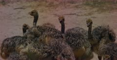 A close up of  chick Ostrich, Struthio camelus drinking water and eating sand out of a dugout the mom made for them. note the the chicks with mouths open and lifting their wings to cool off in the heat.