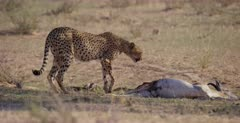 A tracking shot of a Cheetah, Acinonyx jubatus  that walks across to her killed Springbok and drags it into the shade.