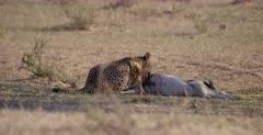 A medium shot of a Cheetah, Acinonyx jubatus  licking,chewing and eating her killed Springbok .