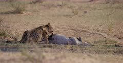 A medium shot of a Cheetah, Acinonyx jubatus swallowing,chewing and eating the intestines of her killed Springbok .