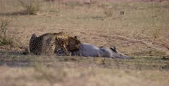 A medium shot of a Cheetah, Acinonyx jubatus starts to chew and eat the testicles of her killed Springbok .