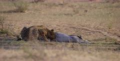 A medium shot of a Cheetah, Acinonyx jubatus eats her way into her killed Springbok through the testicle area.