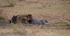 A medium shot of a Cheetah, Acinonyx jubatus starts to bite the penis of her killed Springbok .
