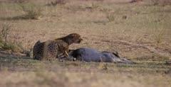 A medium shot of a Cheetah, Acinonyx jubatus at her killed Springbok nervously looks around her.
