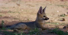 A close up shot of a wet Cape fox , Vulpes chama sitting down, listening, looking and smelling  after the rain storm.