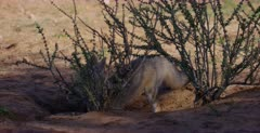 A tracking shot of a  Cape fox , Vulpes chama exiting its burrow.