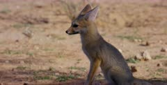 A close up shot of a Juvenile Cape fox , Vulpes chama nervously looking about.