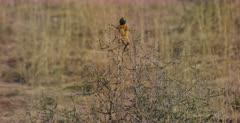 A medium shot of a Ground Agama, Agama aculeata hanging on the twigs of a bush.