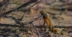 A close up side view shot of a Ground Agama, Agama aculeata on the sand.