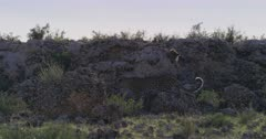 Tracking shot of two tiny Leopard, Panthera pardus cubs and their mom walking over rocks.