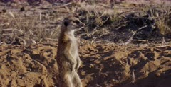 A Close Up shot of an adult  Meerkat or Suricate, Suricata suricatta making a warning noise that a Jackel was passing by.