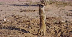An adult Meerkat or Suricate, Suricata suricatta nervously comes out of its burrow and checks to see if the Jackel has passed and all is safe.