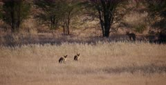 A Group of bat-eared foxes, Otocyon megalotis flee from something that has frightened them.