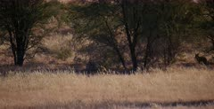 A Group of bat-eared foxes, Otocyon megalotis hide in the shade of a thorn tree, until they get a fright.