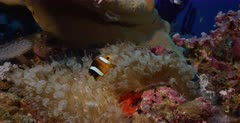 A Close up shot of a Clark's Anemonefish, Amphiprion clarkii swimming into its Bulb tentacle Sea Anemone,  Entacmaea quadricolor. Note the red patch of eggs