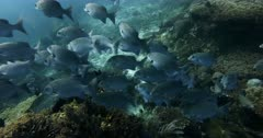 A Close up shot of a large school of Lowfin Rudderfish,Lowfin Drummer, Kyphosus vaigiensis swimming infront of the camera.
