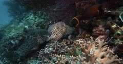 A close up shot of a Barramundi cod,Pantherfish or Humpback Grouper or Polkadot Grouper, Cromileptes altivelis Bluestreak at a cleaninfg stating being cleaned by a  Cleaner Wrasse, Labroides dimidiatus