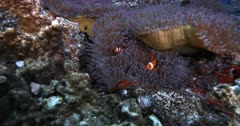 A medium wide shot of three False clown Anemonefish,Clownfish, Amphiprion ocellaris on a Purple Magnificent Sea Anemone, Heteractis magnifica chase Three spotted Dascyllus,Damselfish, Dascyllus trimaculatus away from their anemone