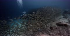 A large Bait ball wall of schooling Bigeye Scad, Selar crumenophthalmus with a diver behind them.