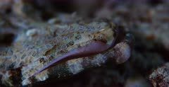 An extreme close up shot of a Beautford's Crocodilefish,Crocodile Flathead, Cymbacephalus beauforti  pink lips.