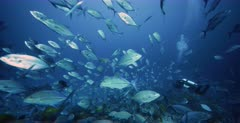 A Close Up shot of hundreds of Bluefin Jacks, Bluefin Trevally, Caranx melampygus,Orangespotted Trevally, Carangoides bajad and Bigeye Trevally, Caranx sexfasciatus that have pushed the large school of Anchovy, Stolephorus indicus onto the reef are being filmed by a photographer diver.