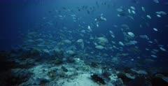 A Close Up shot of hundreds of Bluefin Jacks, Bluefin Trevally, Caranx melampygus, Bigeye Trevally, Caranx sexfasciatus, Orangespotted Trevally, Carangoides bajad and Anchovy, Stolephorus indicus.