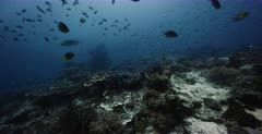 Schools of Ambon chromis,Damselfish, Chromis amboinensis and clouds of Anchovy, Stolephorus indicus and a few Bigeye Trevally, Caranx sexfasciatus and two Moorish Idol fish, Zanclus cornutus swim in front of the camera.