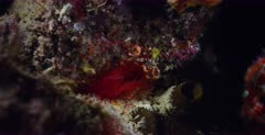 A Close Up of a Red Flashing File Shell,Electric Eye Flashing Scallop, Electic Clam,Ctenoides ales flashing purple electric beams at night it suddenly closes and reopens.