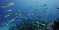 A wide shot of a large school of Anchovy, Stolephorus indicus fish swimming over the coral reef belowa large school of blue and yellow Blueback fusilier,Yellowback Fusilier, Caesio teres