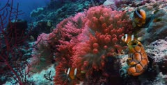A Close Up, slow motion shot of a bright Peach,Pink colored Bulb-tentacle Sea Anemone, Entacmaea quadricolor with four  Clark's Anemonefish,Amphiprion clarkii