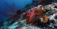 A slow motion, medium wide, shot of a bright Peach,Pink colored Bulb-tentacle Sea Anemone, Entacmaea quadricolor  with four Clark's Anemonefish,Amphiprion clarkii